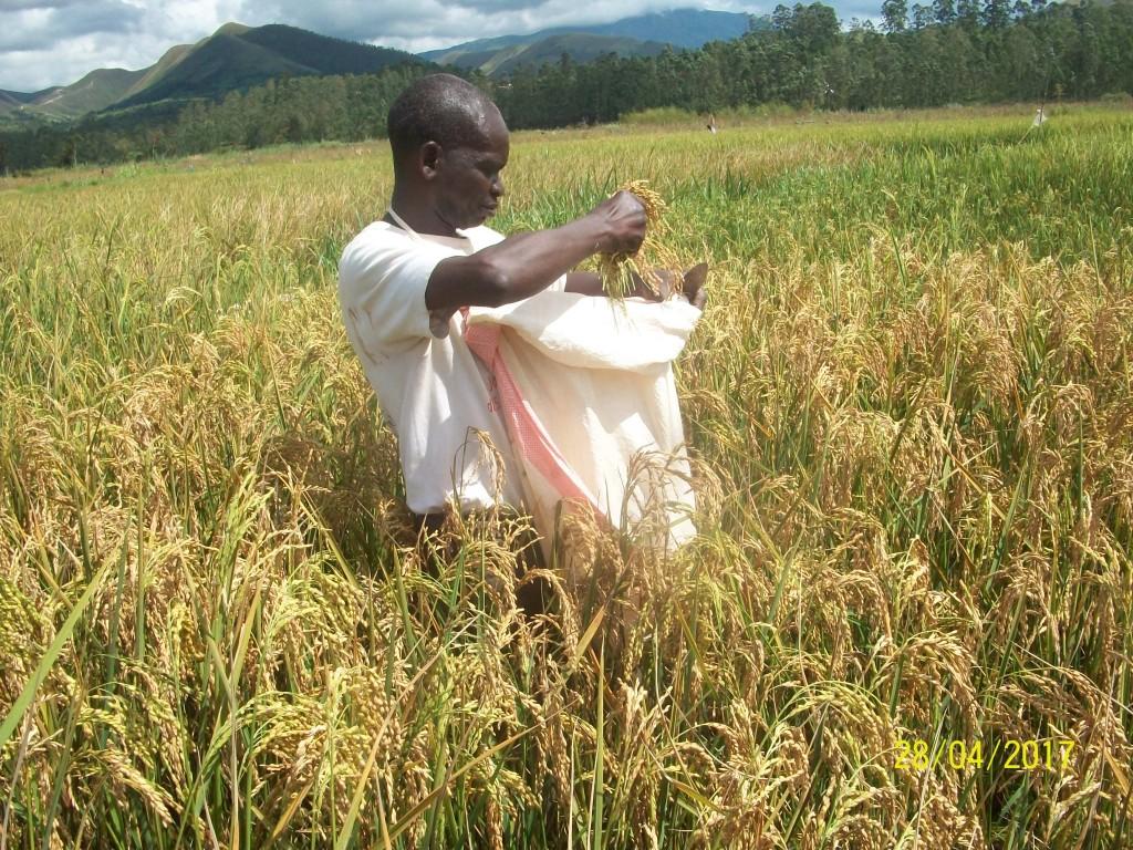 La culture du riz à Nyangezi